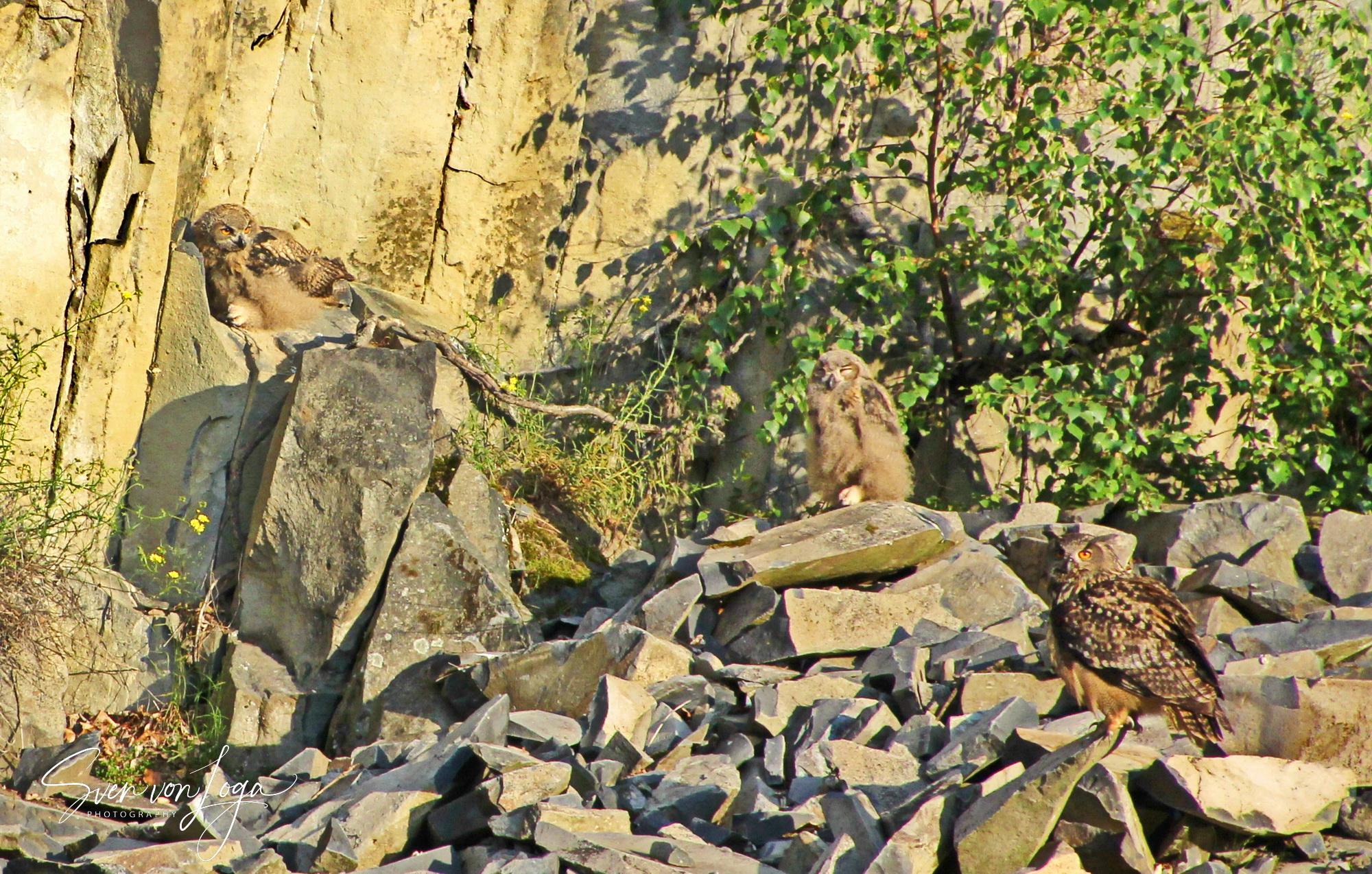 Uhufamilie im Steinbruch