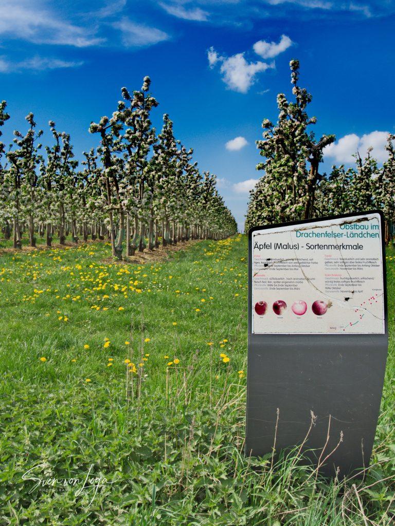 Apfelblüte im Drachenfelser Ländchen
