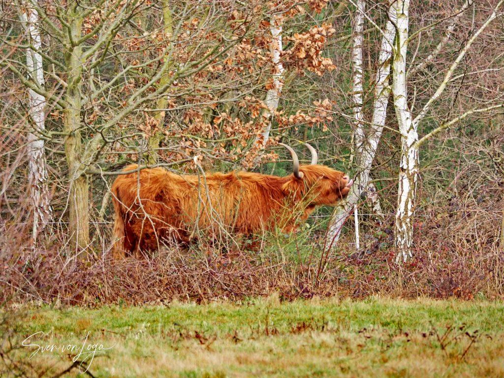 Schottisches Hochlandrind in der Drover Heide