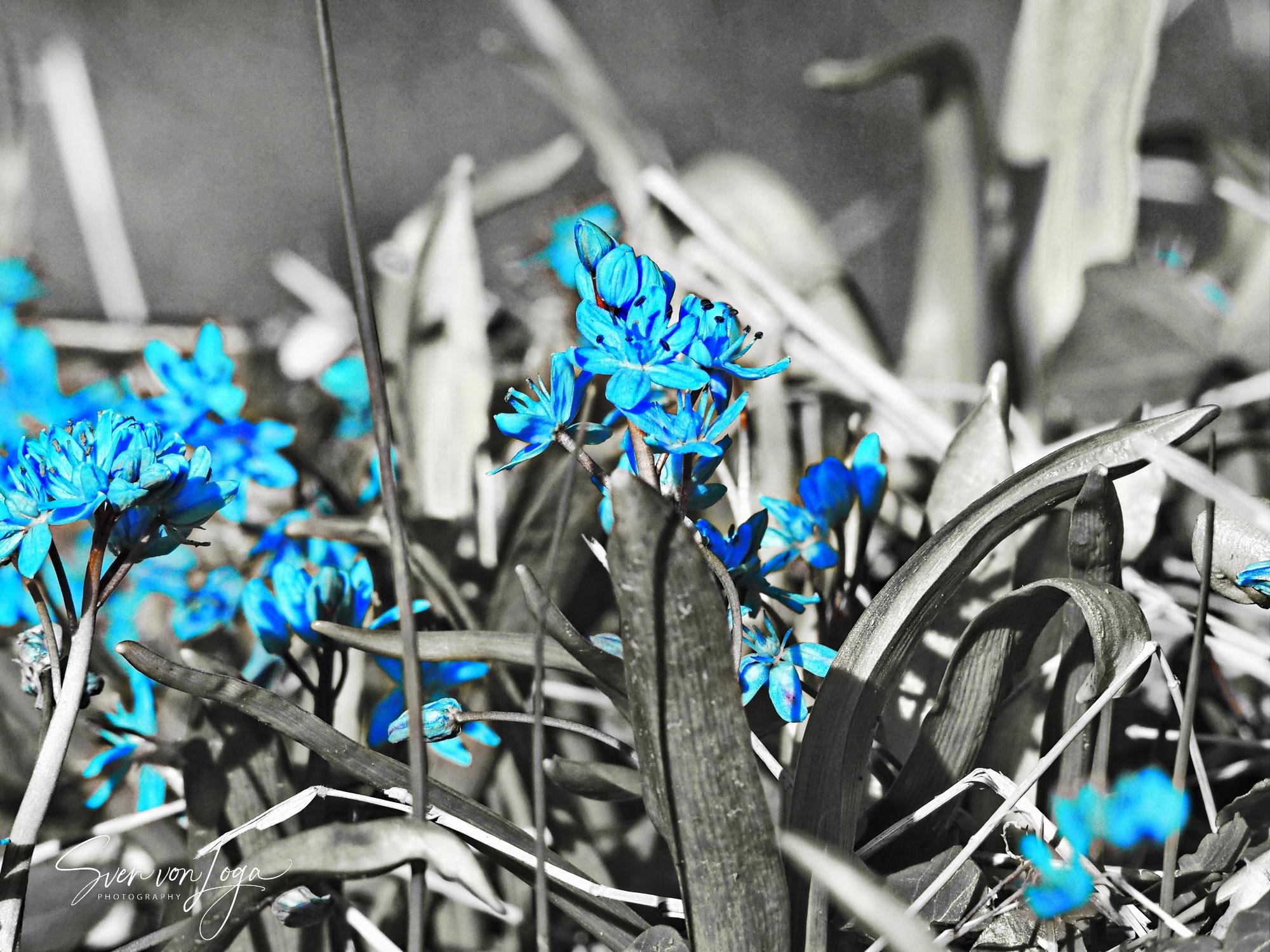 Blaustern auf dem Ennert bei Bonn