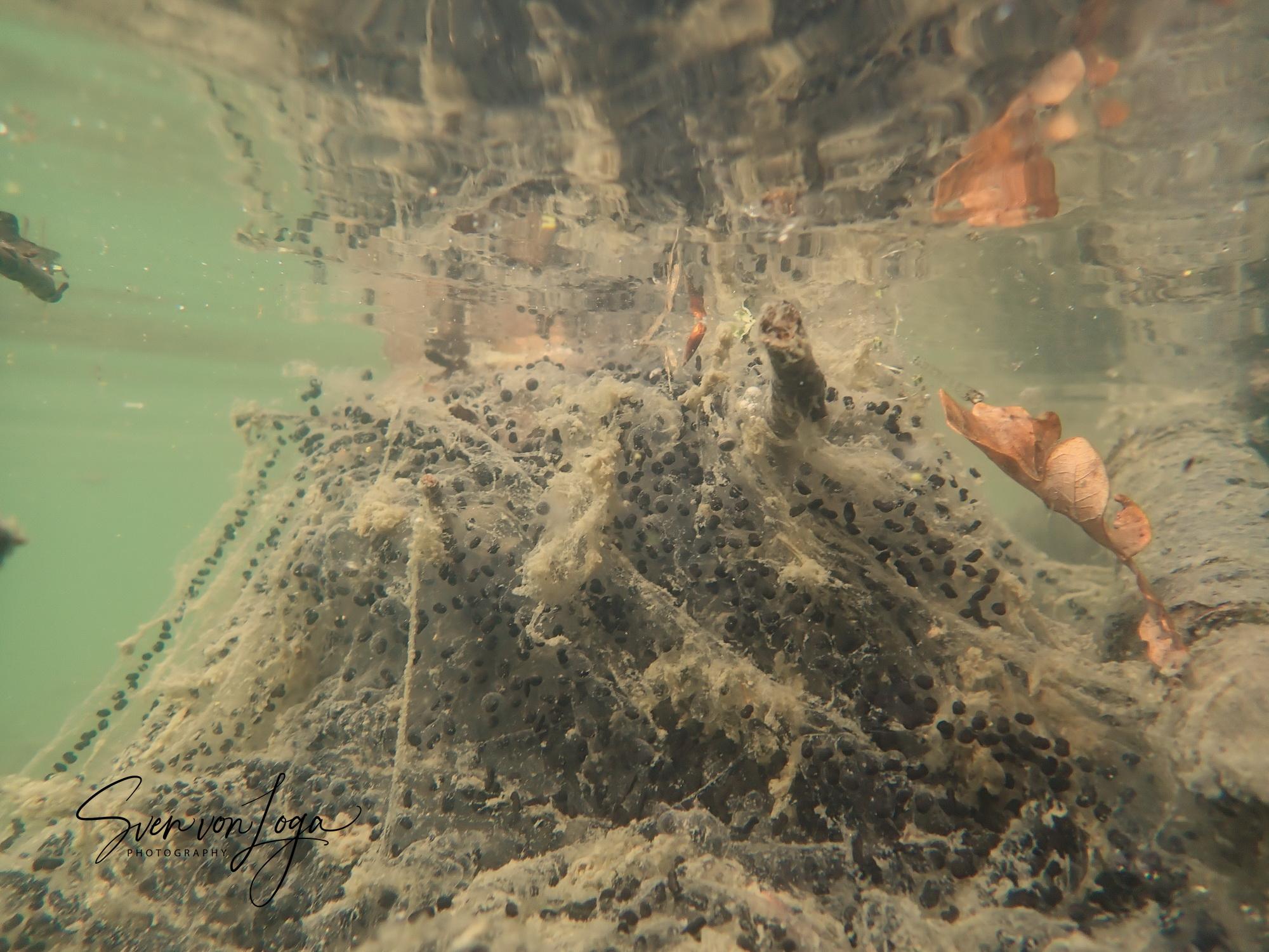 Krötenlaich im Kölner Adenauerweiher