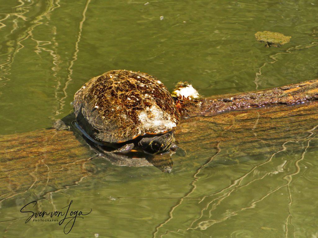 Schildkröte Siegmündung Diescholl