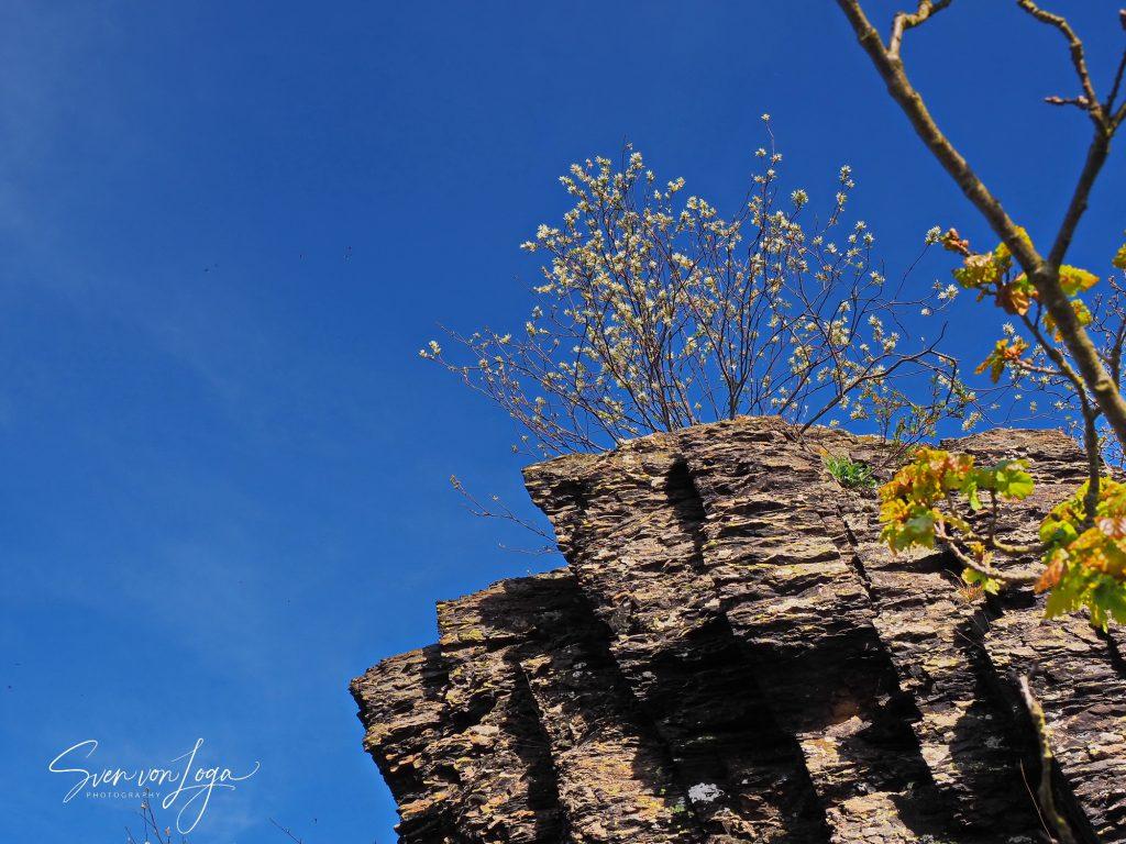 Felsenbirne auf dem Ümerich